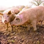 Atenție! Pestă porcină, la graniță cu Țara Făgărașului