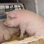 Mesaj important pentru făgărășeni în contextul celor două cazuri de pestă porcină din județul Brașov