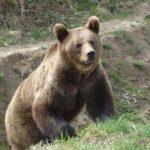 Localnicii din comuna Hârseni, terorizați de urși
