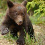 Pui de urs pe străzile din Făgăraș