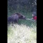 Inconștiența se repetă la o săptămână distanță. O fetiță este încurajată de părinți să hrănească un urs pe Transfăgărășan. (Video)