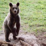 Un urs a intrat, din nou, într-o gospodărie din Hârseni