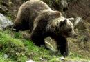 Ursul a dat atacul în Recea