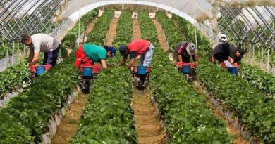 agricultura-capsunari