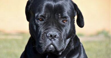 cane-corso-4015352__340